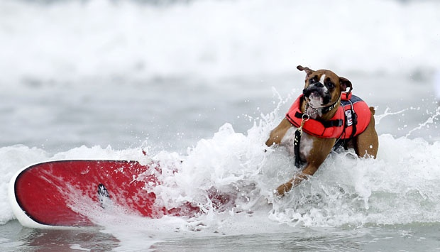 Hanzo, anjing Boxer yang sedang mengendarai papan seluncurnya untuk melawan ombak dalam acara kompetisi Purina Incredible Dog Challenge, di San Diego, 8-6, 2012. (AP Photo/Gregory Bull)