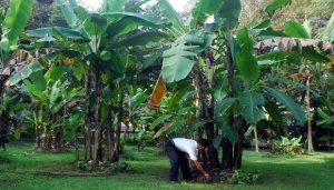 Outreach: Lasiyo's Organic Bananas