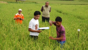 Unsoed Develops Low-Sugar Rice Plant