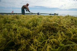 Seaweed Price in NTT Drops