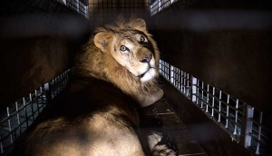 Lion Locked-up in South African Jail