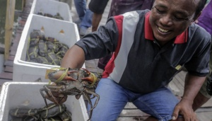 Maluku Live Mangrove Crabs in High Demand in Singapore, Malaysia