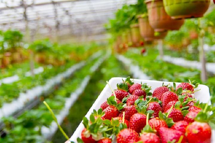 Ilustrasi kebun strawberry