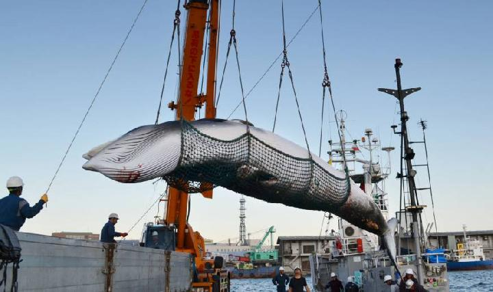 Japan To Begin Commercial Whaling Again After 30 Years