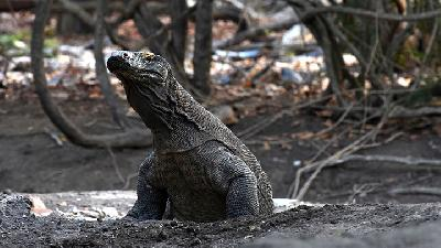 NTT Determined to Shut Off Komodo National Park Next Year