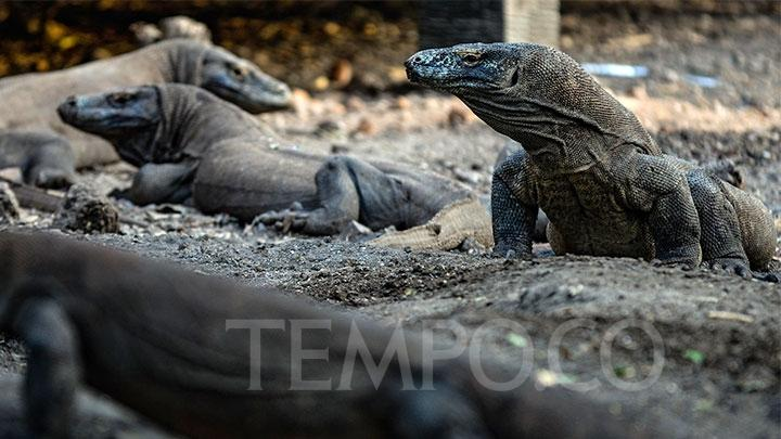 Komodo dragons on Rinca Island, Komodo National Park, East Nusa Tenggara, Sunday, October 14, 2018. TEMPO/Tony Hartawan