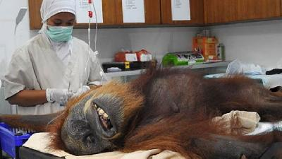 Orangutan That was Shot with 74 Air Gun Pellets Undergo Surgery