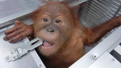Endangered Baby Orangutan Saved from Russian Smuggler