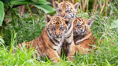 Police Arrest 5 Suspects over Illegal Hunting of Sumatran Tiger