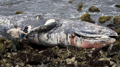 Whale Deaths in U.S.' West Coast May be Linked to Arctic Warmth