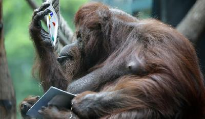 Paris Zoo's Painting Orangutan Nenette Turns 50