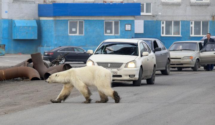 A stray polar bear is seen in the industrial city of Norilsk, Russia June 17, 2019. REUTERS/Irina Yarinskaya/Zapolyarnaya Pravda