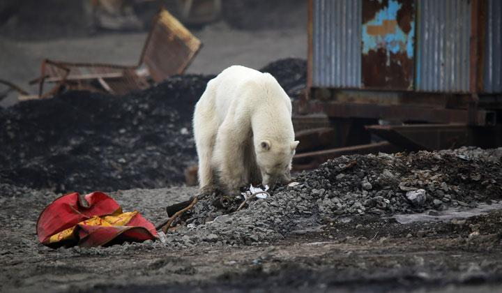 A stray polar bear is seen in the industrial city of Norilsk, Russia June 17, 2019. Climate change has been damaging polar bears' sea-ice habitats and forced them to scavenge more for food on land, bringing them into contact with people and inhabited areas. REUTERS/Irina Yarinskaya/Zapolyarnaya Pravda