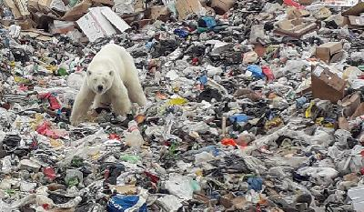 Starving Polar Bear Seen At Garbage Dump in Siberia