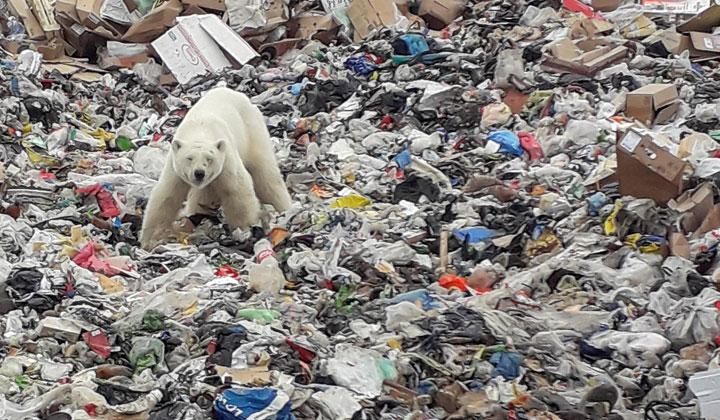 A stray polar bear is seen on a garbage dump at the industrial city of Norilsk, Russia June 18, 2019.  It is the first polar bear seen in the city in more than 40 years, according to local environmentalists. REUTERS/Yuri Chvanov