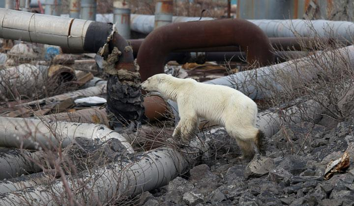 A stray polar bear is seen in the industrial city of Norilsk, Russia June 17, 2019. The starving animal has strayed hundreds of kilometers from its natural Arctic habitat and wandered, exhausted, into the major Russian industrial city of Norilsk in northern Siberia. REUTERS/Irina Yarinskaya/Zapolyarnaya Pravda