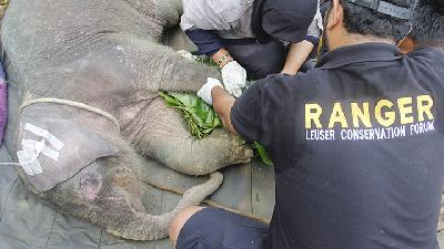 Sumatran Elephant Found Dead in Aceh Forest