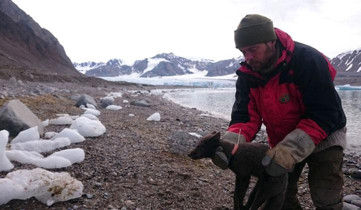 A researcher holds a female Arctic fox with a satellite collar, which allows scientists to track their movements, in Krossfjorden, Svalbard, Norway, July 29, 2017 in this image taken from social media. Elise Stromseng via REUTERS