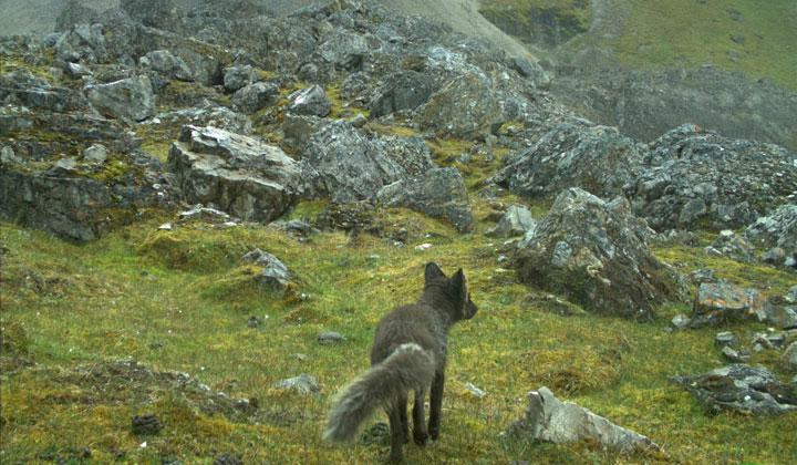 An arctic fox of the blue color morph is pictured in this camera-trap photo taken in Svalbard, Norway, July 23, 2018. Scientists have mapped the bizarre journey of an arctic fox who travelled over 3,506 km (2,000 miles) across the arctic ice from Norway's Svalbard islands to northern Canada in 76 days. Eva Fuglei via REUTERS