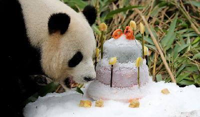 Panda Jiao Qing Celebrates 9th Birthday at The Zoo in Berlin