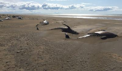 At Least 50 Dead Pilot Whales Found Beached in Iceland