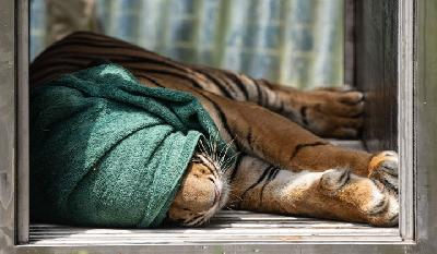 Trapped Sumatran Tiger to be Moved to Lampung