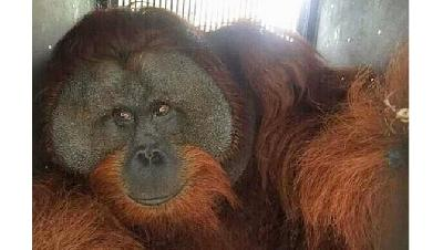 Giant Orangutan Evacuated from Palm Oil Plantation