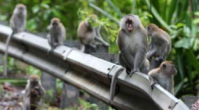 Gunung Kidul Monkeys to Be Exported Due to Overpopulation