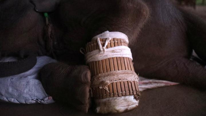 Ayeyar Sein, a four-month-old baby elephant who lost her parents to poachers, rests after her daily wound cleaning in Wingabaw Elephant Camp, Bago, Myanmar, September 30, 2019. Picture taken September 30, 2019. Than Naing Oo said Ayeyar Sein's parents were nowhere to be seen near the trap and were most likely killed by poachers. Poachers kill elephants for their tusks and skin, which are used to make jewellery and traditional medicine, among other things. REUTERS/Ann Wang