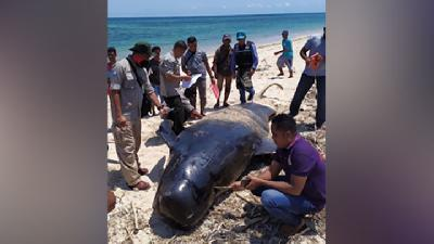Pilot Whale Washes Ashore on South Gorontalo Beach