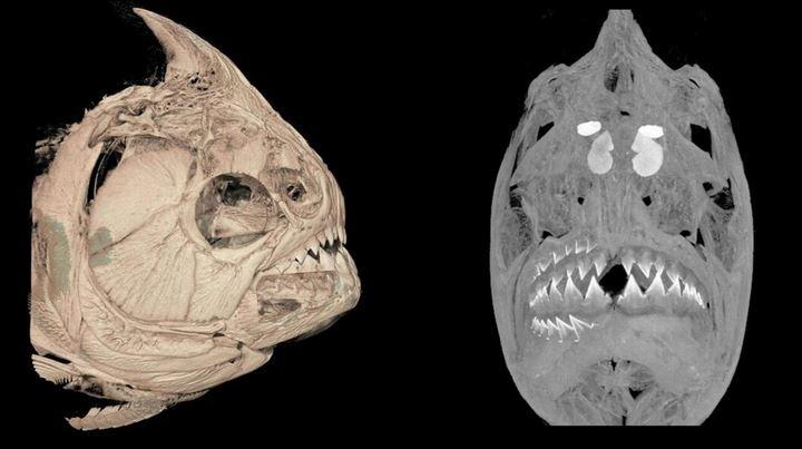 Gambar CT-scan piranha Serrasalmus medinai. Kredit: Universitas Washington