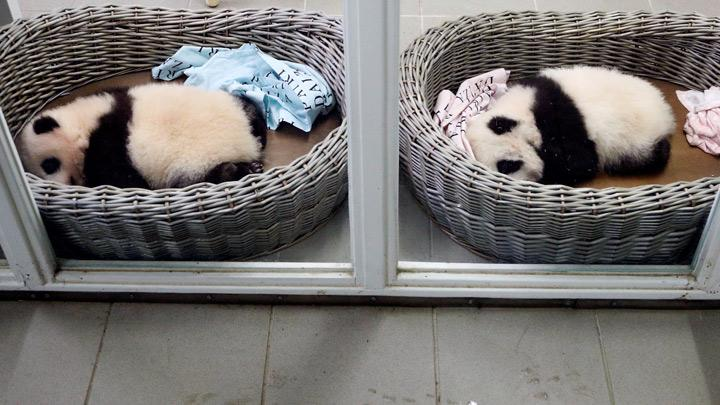 Three Month-Old Twin Panda Cubs in Good Health, Awaiting Names