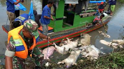 African Swine Fever Kills 47,143 Hogs in North Sumatra