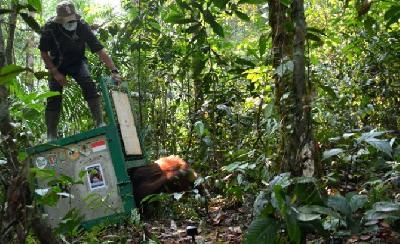 17 Orangutans Reintroduced at the TNBBBR National Park
