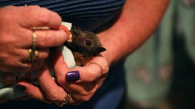 Australian Rescues Flying-Foxes Suffering from Habitat Loss