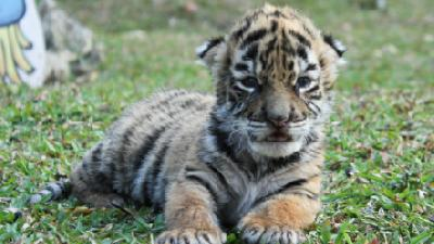 Baby Tiger 'Covid' Brings Hope to Mexican Zoo