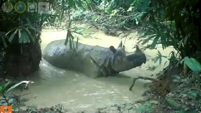 Endangered Javan Rhino Enjoys a Mud Bath