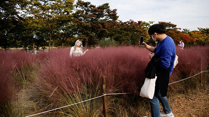 A man takes a photograph of his girlfriend inside a pink muhly grass field at a park, amid the coronavirus disease (COVID-19) pandemic, in Hanam, South Korea, October 13, 2020. REUTERS/Kim Hong-Ji