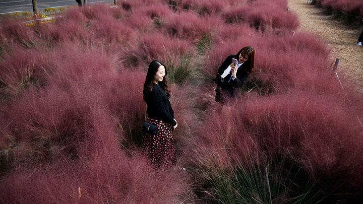 A woman takes a photograph of her friend in a pink muhly grass field amid the coronavirus disease (COVID-19) pandemic at a park in Hanam, South Korea, October 13, 2020. REUTERS/Kim Hong-Ji