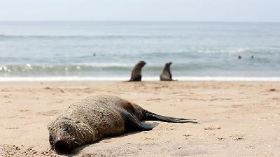 More Than 7,000 Dead Seals Found Along Namibian Beach