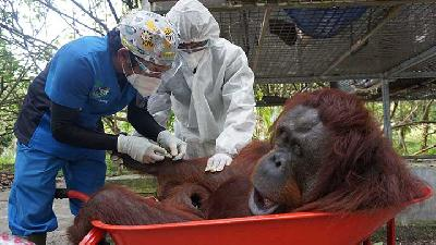 Ten Orangutans Release Into The Wild by Indonesian Rehabilitation Centre
